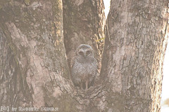 Young Mottled Wood Owl (Robbert met dubbel B) Tags: park wood india nature wildlife indian young reserve safari national owl april 29 juvenile 29th mottled jonge 2016 indische tigerreserve nationaal tadoba bosuil andhari juveniel juveniele