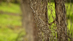 Bandy Fence (Theen ...) Tags: adelaide barbed bent bokeh bowed chicken fence grass green happyfencefriday hff lumix metal old rusty shallowdof theen urrbrae vineyard waitearboretum wire