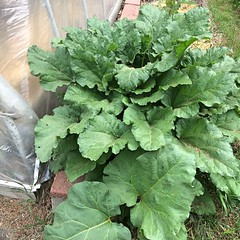 "I see a lot of rhubarb in our future.  I better get all of my rhubarb recipes ready! • <a style=""font-size:0.8em;"" href=""http://www.flickr.com/photos/54958436@N05/27579412165/"" target=""_blank"">View on Flickr</a>"