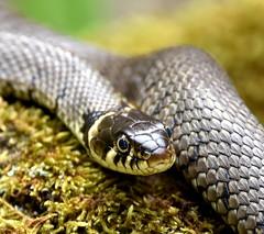 Grass Snake basking in the sun. (pstone646) Tags: nature animal fauna kent reptile snake basking wildlfie