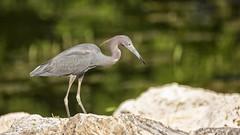 Shore Birds at Orange Lake (AmyBaker0902) Tags: orange lake birds club orlando wildlife country shore