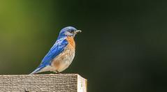 IMG_9159 Male Eastern Bluebird (Wallace River) Tags: bluebird easternbluebird