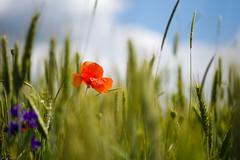 Mohn (Gr@vity) Tags: macro field pentax feld poppy k1 mohn pentaxfa100mm28macro