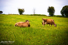 Jersey Cows Grazing (Jonathan.Russell) Tags: blue trees sky brown green grass canon cow flickr russell cows jonathan moo jersey vignette watermark 40d flickraward jonooter