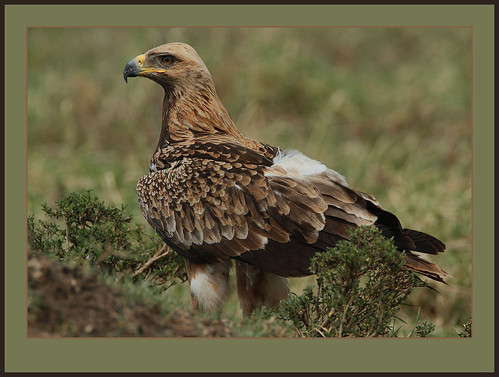 Tawny Eagle (View large)