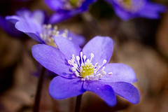 Anemone hepatica (Kynktu) Tags: flowers macro 50mm sigma