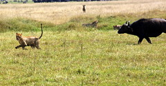 Caceria en el Ngorongoro 4 (Marcosfd80) Tags: africa tanzania ngc ngorongoro animales len safary bfalo flickrbigcats highqualityanimals