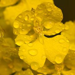 april showers, ii (_aires_) Tags: orchid macro canon droplets drops aires 100mm gotas limaperu 50d ires canonef100mmf28macrousm canoneos50d canon50d poupéesbeautifulgarden