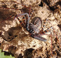 CIMG7277 (mantidboy) Tags: pet forest spider rainforest arachnid tail scorpion exotic bark scorpions whip cave charon hiding predator cf invertebrate dwelling insectivore tailless amblypygid tailess amblypygi grayii phillipenes grayi