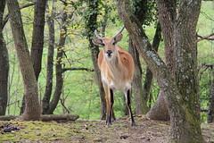 Gazelle (KELAGOPIAN R) Tags: bear baby tiger peacock giraffe gazelle panther tigre 2012 ours girafe paon biche panthere