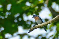 Bluebird (SPierceUrbex) Tags: tree bird ma branch feeding massachusetts beak feathers orchard perch perched bluebird quabbin belchertown resevior windsordam