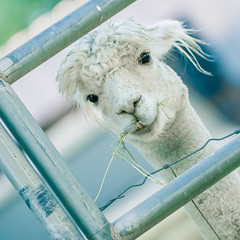 Sometimes idk & that's okay. (Tc Morgan) Tags: 200mm 70200 7d alpaca alpacas angle beautiful blog ca california canon canon70200mm canon7d chillin closeup commons corral cute cuteness dirty dude dutch eos eyes farm farmanimals friend funny hay herdsire hey hommie iso100 insightranch lol life lightfawn look looking memories moment nature pipe ranch reality really ringo ringostar sharing silly socal southerncalifornia summer tcmorgan tilt watcher watching whatup whatsgood white yo animal big bokeh camelid cool creative creeper f28 home huacaya twisted