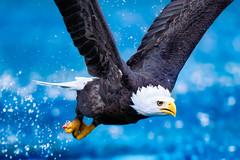 Presto (Christophe Kiciak) Tags: bird water fly wings eagle action beak fast splash quick oiseau aigle