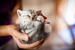 A handful of smile (Miklos Szaloczy) Tags: cats baby cute beautiful cat canon eos 50mm hands kitten feline dof bokeh small young kitty palm 5d shorthair british manual 12 cuteness nikkor 50 ais 2012 handful oof