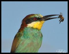 Finalmente un primo piano.......fotogenico ???? (PaPier66) Tags: italy uccelli birdwatching viterbo animali lazio uccello maremma meropsapiaster tuscia voaltile gruccione