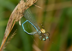 white-legged damselfly caught in the web (roly2008.) Tags: france canon insect spider wildlife arachnid damselfly 100400mm limoges odonata whiteleggeddamselfly chateaumoulin 4spotorbweaver