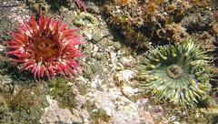 Some Anemone (Ed Bierman) Tags: scuba diving marinelife anacapa divingtrips ncrd northerncaliforniarainbowdivers gaydiving californiamarinelife