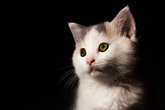 Pepper (Matthew Post) Tags: blackbackground cat canon kitten petportrait tabbycat tamron2875mm snoot strobist 60d snooted yongnuo468