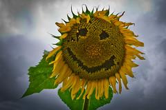Smile, Buttonwood Farm (Michael St. Jean) Tags: green yellow lumix farm connecticut g ct panasonic sunflower griswold 1445 vario buttonwood f3556 gx1
