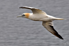 Gannet (Diko G.W. Internet on & off) Tags: 2 me photography you thewonderfulworldofbirds me2youphotographylevel2 me2youphotographylevel3 me2youphotographylevel1 freedomtosoarlevel1birdphotosonly freedomtosoarlevel2birdphotosonly