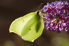 see-through (Gies!) Tags: macro butterfly wings transparency seethrough vlinder transparant vleugels doorkijkje doorkijk thegalaxy flickraward mygearandme mygearandmepremium cintroentje