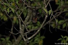 Flying Fox. Sidangoli Km 12, Halmahera, Maluku, Indonesia (5 Aug 2012) (Vinchel) Tags: canon indonesia is ii usm ef maluku 400mm halmahera f28l 1dx sidangoli