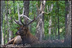 Here at Stately Elk Manor (MisterQueue) Tags: park wild saint st louis stlouis horns mo antlers missouri rack lone elk horn saintlouis stl antler loneelkpark