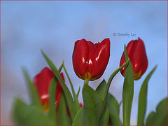 Glossy Red Tulips Against A Blue Sky (dorothylee) Tags: flowers flower nature garden spring tulips bluesky tulip