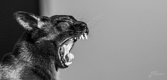 Listen Up! (YaniNation) Tags: bw black face tongue cat neck teeth yawn highcontrast ears harley whiskers scream fangs eyesclosed shallowdof canines notmycat yanination burrmese
