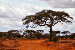 The Tree and The Street Landscape 2 (Stefano.Minella) Tags: park street 2 wild portrait baby tree male animal animals photoshop canon that landscape eos for this is photo holidays all looking with post kenya shots eating year  over some taken running days here went east safari most where national 7d zebra unknown l production they usm impala kicking ef f4 spent 41 tsavo giraffa 2012 stefano lightroom 70200mm the minella cs6 camaleopardalis dribling