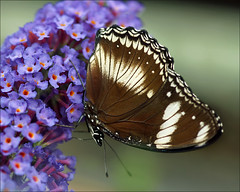 Common Eggfly (Foto Martien) Tags: newzealand holland colour macro netherlands beautiful dutch japan butterfly insect wings utrecht colorfull nederland papillon malaysia tropical mariposa coloured geotag bluemoon schmetterling vlinder kleurrijk a77 macrophoto butterflyhouse kleuren polychrome geotagging butterflygarden bont tropisch veelkleurig macrofoto greateggfly kleurig thegalaxy macroopname hypolimnasbolina botanischetuinen vlinderhuis gewhnlicheeierfliege southandsoutheastasia commoneggflybutterfly vlinderhof variedeggfly martienuiterweerd bestcapturesaoi martienarnhem groseeierfliege mygearandme mygearandmepremium minoltamacro100mm28mm mygearandmebronze mygearandmesilver mygearandmegold mygearandmeplatinum mygearandmediamond fotomartien overdektevlindertuin sonyslta77v sonyalpha77 rememberthatmomentlevel4 geotaggedwithgps rememberthatmomentlevel1 rememberthatmomentlevel2 rememberthatmomentlevel3 rememberthatmomentlevel5 bmmttrngxanh botanicalgardensoftheutrechtuniversity partsofaustralia