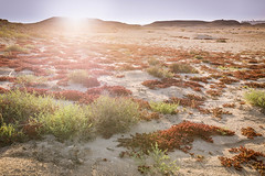 purple island, jazirat bin ghannam, near al khor, qatar (Jeff Epp) Tags: sunset plants sun plant landscape island landscapes gulf middleeast foliage desertlandscape qatar arabiangulf alkhor purpleisland jazirat april2014 jaziratbinghannam