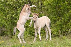 Koniks (SEngel1978) Tags: canon natur pony pferde wildpony konik sachsenanhalt naturfotografie aufdemrödel naturschutzgebiettotetäler