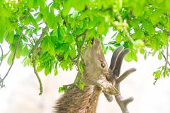Tree Eating Deer 1 (Vinny Burns) Tags: england canon eos unitedkingdom deer gb 2016 ticknall calkeabbey ef400mmf56lusm 5dmkiii 5dmk3 5d3 5dmarkiii vinnyburns