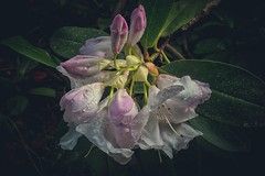 Don't wake me I'm dreaming (marcusklotz2014) Tags: seattle flowers japanesegarden rhododendron kubotagarden seattlejapanesegarden kubotajapanesegarden