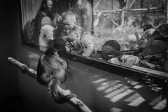 White-bellied spider monkey (you feel me) Tags: wild blackandwhite cute blancoynegro nature monochrome face kids germany monkey blackwhite spring photographer noiretblanc erfurt wildlife watching documentary indoor monotone ape wildanimal primate biancoenero springtime behindglass zoopark schwarzweis runkewitz whitebelliedspidermonkey