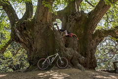 Saint Chestnut tree (- Cajn de sastre -) Tags: trees naturaleza selfportrait nature arbol autoretrato bicicleta bicicle castaos chestnuttrees naturalframes creativeselfportrait creativephotography 52weeksproject 52weeksofphotography ifacedowntuesday facedowntuesdaygroup 52in2016challenge