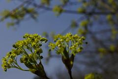 _DSC0905 (wdeck) Tags: trees sony baumblte ahorn sonyalphaslt77 freiburgbrhl zeisssonydt1880mm