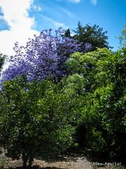 Arboles (AlexAguilarT) Tags: abejas flores arboles vacas gallinas