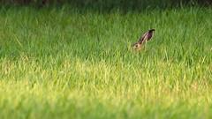 Hiding (Psztor Andrs) Tags: sunset summer sun rabbit eye nature grass photography lights nikon hungary sigma ears hide dslr 70300mm filed andras pasztor d5100