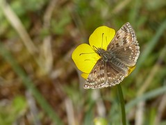 Dingy Skipper (ukstormchaser (A.k.a The Bug Whisperer)) Tags: sunlight grass animal animals closeup insect fly afternoon wildlife may meadow skipper butterflies insects flies dingy skippers