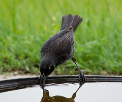 Having a Drink: Young Red-winged Blackbird (mharoldsewell) Tags: usa bird birds ga georgia nikon redwingedblackbird peachcounty mharoldsewell mikesewell sigma150500mm d7200