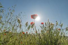 Amapola (juanda021282) Tags: flores primavera campo papaver amapolas amapola rhoeas valdemoro