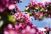 Red Apple Blossom, Lohja 3