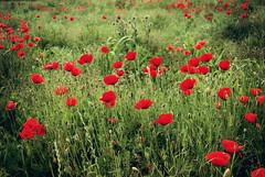 Common poppy (Sareni) Tags: light colors grass spring serbia may mak vojvodina twop srbija 2014 banat polje trava prolece boje commonpoppy poljana svetlost livada alibunar juznibanat sareni