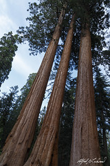 Three Giants (Alfred J. Lockwood Photography) Tags: california summer tree nature landscape nationalpark afternoon sequoia sequoianationalpark sierramountains alfredjlockwood