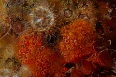 Plymouth-201605-HandDeeps1-Tunicate2-AplidiumNordmanni-RedVar (Tony J Gilbert) Tags: macro marine underwater plymouth diving scylla jameseaganlayne nikond300 handdeeps wwwdivingplymouthcom ceeking hilseapointrocks