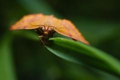 DSCF7347 (faki_) Tags: butterfly insect fuji fujifilm 24 60 250 dcr rovar xe1 raynoxdcr250 lepke fujinonxf60mmf24rmacro
