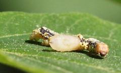 Caterpillar and Parasite at Sunrise Mountain (Tombo Pixels) Tags: newjersey nj caterpillar emerging parasite sunrisemountain twb1 naturewalk2016 sunrisemountain160166