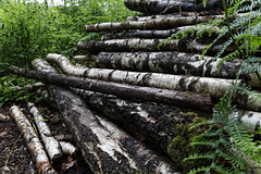 Logs (will668) Tags: logs wood forrest woods logging coppicing birch silverbirch trees tree bleanwoodsnationalnaturereserve canterbury kent bark canonef24105mmf4isusm canon5dmkiii canonef24105f4lisusm 5dmkiii